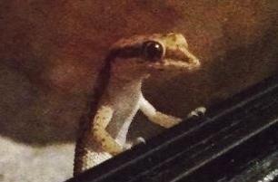 Reptilien für Anfänger Zwerggeckos
