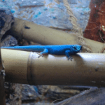 lygodactylus-williamsi-2