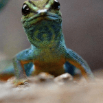 Lygodactylus Williamsi in der Nahaufnahme