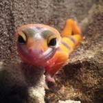 junger Leopardgecko