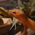 Leopardgecko vor einer Pflanze