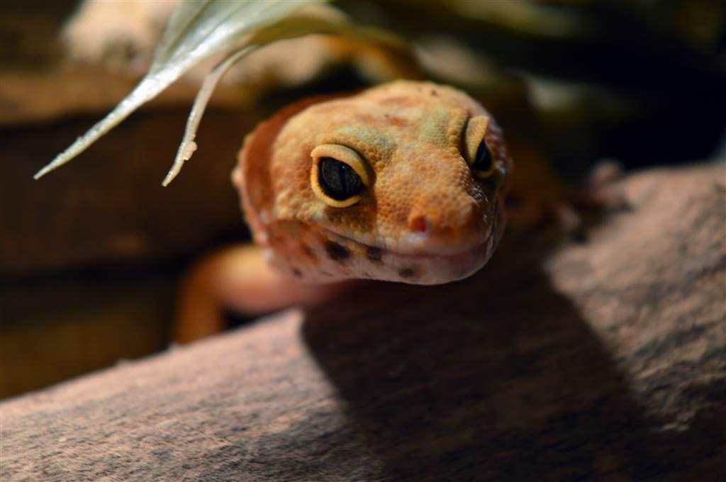 Leopardgecko: Haltung im Terrarium