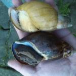 Zwei Achatschnecken auf der Hand