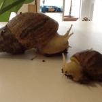 zwei Achatschnecken