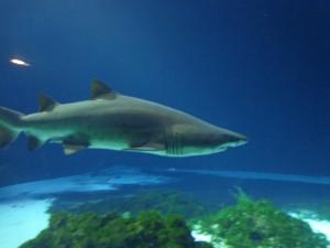 tigerhai meereszentrum fehmarn