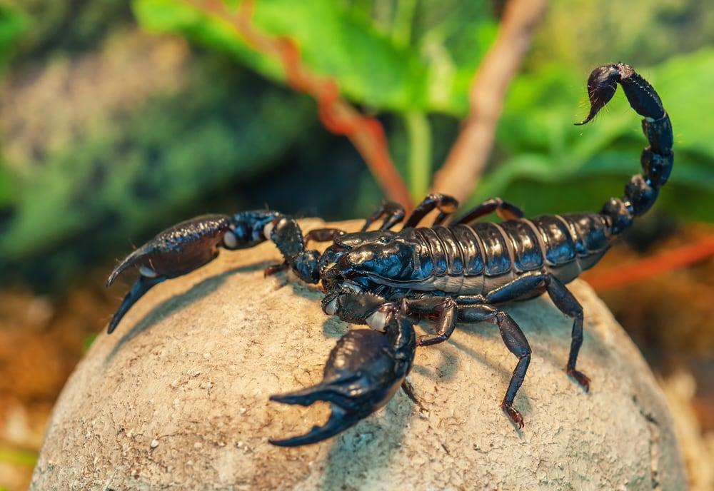 Skorpion in der Nahaufnahme