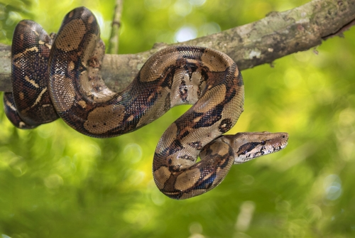 Abgottschlange (Boa Constrictor): Haltung, Fortpflanzung und mehr