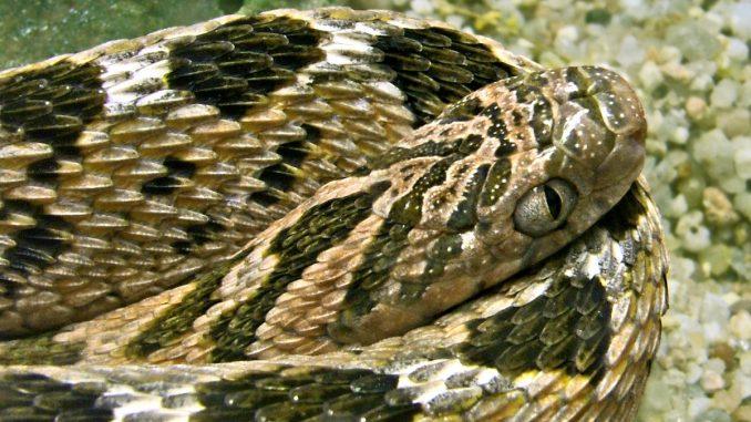 Afrikanische Eierschlange (Dasypeltis scabra): Steckbrief, Haltung und mehr