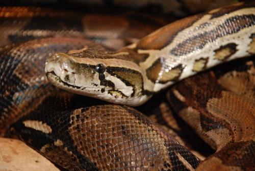 Dunkler Tigerpython (Python molurus bivittatus): Haltung, Infos und mehr