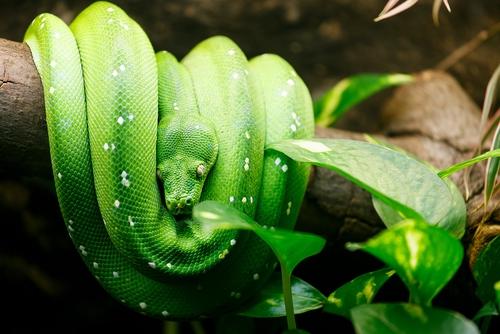 Grüner Baumpython (Morelia viridis): Haltung und mehr