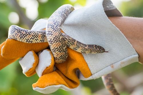 Kettennatter (Lampropeltis getulus): Haltung und mehr