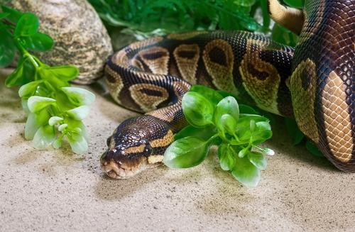 Königspython (Python regius): Haltung, Infos und mehr