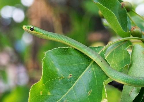 Raue Grasnatter (Opheodrys aestivus): Haltung und Infos