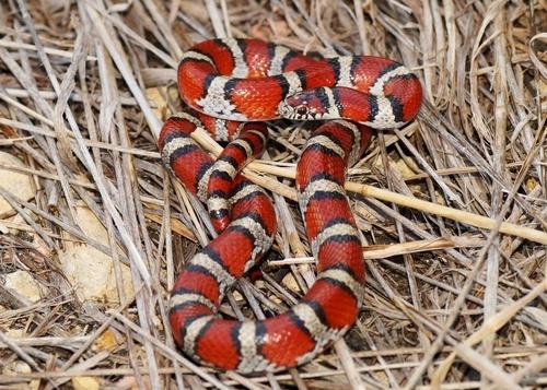 Rote Königsnatter (Lampropeltis triangulum): Haltung und Infos