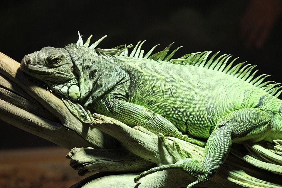 Leguane: Haltung in der Wohnung