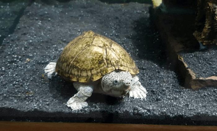 Moschusschildkröten: Infos zur Haltung und mehr