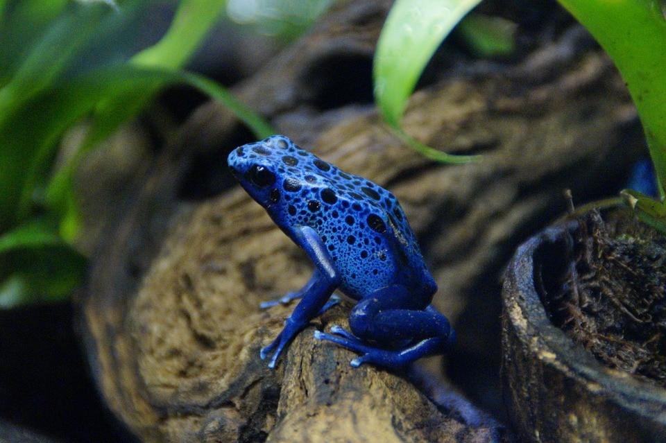 Pfeilgiftfrosch: Steckbrief, Lebensraum und mehr
