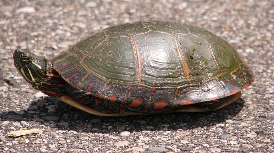 Zierschildkröten: Infos zur Haltung und mehr