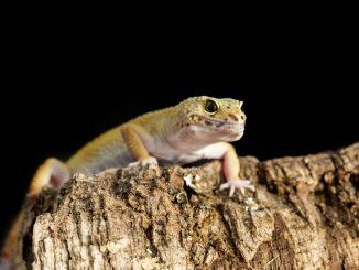 Leopardgecko klettert auf Kork