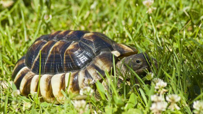 Breitbandschildkröte auf der grünen Wiese