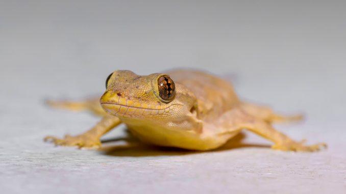 Goldgecko in der Nahaufnahme