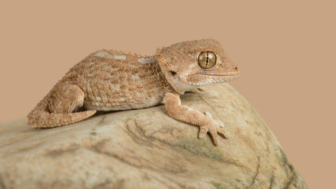 Helmkopfgecko in der Nahaufnahme