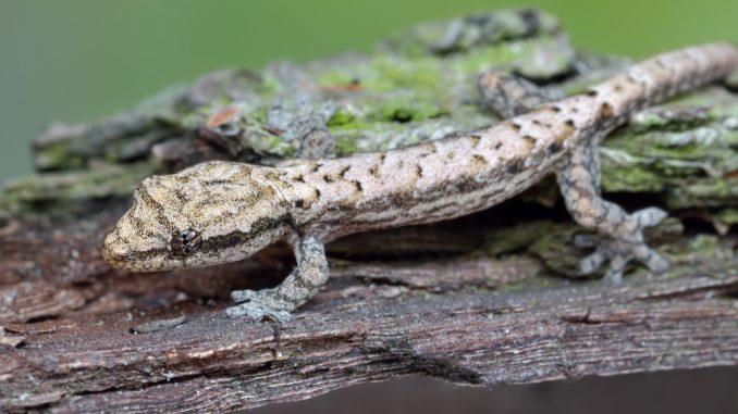Ein Jungferngecko in der Nahaufnahme