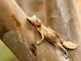 Ein Plattschwanzgecko sitzt auf einem Ast