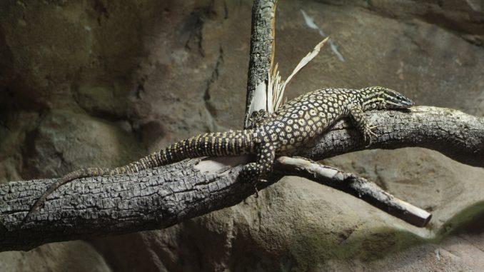 Ein Stachelschwanzwaran sitzt auf einem Ast