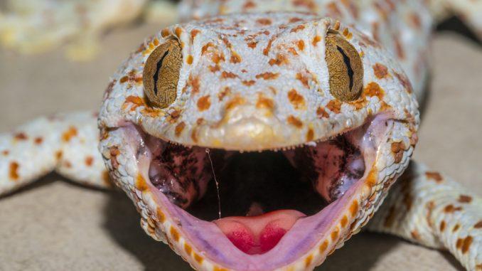 Tokeh Gecko in der Nahaufnahme