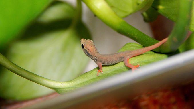 Ein junger Zwerggeckos sitzt auf einem grünen Ast.