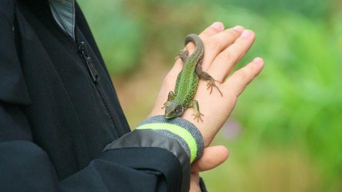 Ein Kind hält ein Reptil bzw. einen Gecko in der Hand