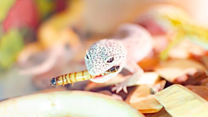 Leopard Gecko (Eublepharis macularius). Exotische Tiere in der menschlichen Umwelt. Reptilienfütterung durch Insekten